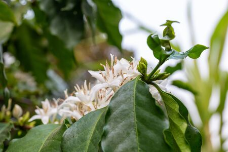 coffee plant with flower and leaf on branch Reklamní fotografie