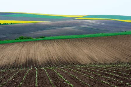 colza: Fields with colza and young wheat and young sunflower.