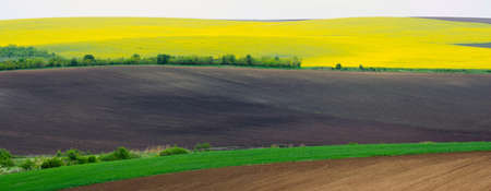 colza: Agricultural land with colza and young wheat and young sunflower. Panorama.