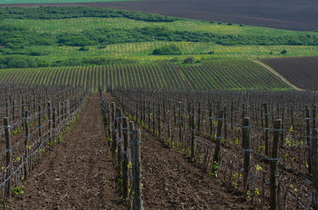 vineyard plain: Vineyards with young vines. Wooden poles from acacia. Spring foliation.