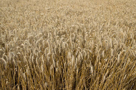 forthcoming: Field of ripe wheat. Forthcoming harvest to harvest. Stock Photo