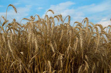 ripe: Ripe wheat. Stock Photo