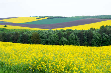 colza: Agricultural land with colza and young wheat. Stock Photo
