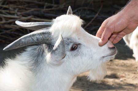 Farmer hand that stroked the goat. Close up portrait of a goat. Stock Photo