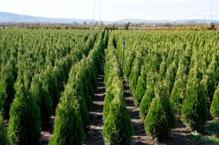 Arborvitae. Goldstrike Cedar. Kwekerij voor veel groene Thuja in de natuur. Stockfoto - 71327815