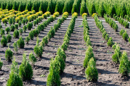 Nursery for Goldstrike Cedar. Natural green conifer thuja planting garden outdoor. Holmstrup.