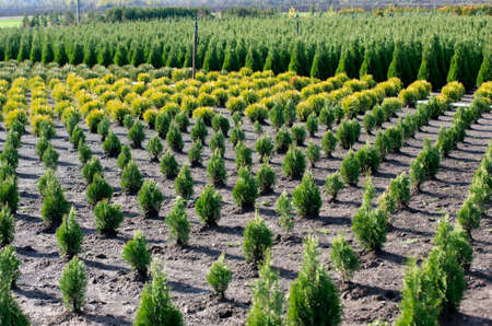 thuja occidentalis: Thuja occidentalis in garden center. Plant nursery.