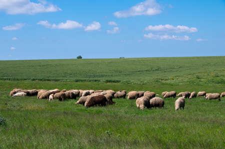 Sheep grazing in grass. Livestock.