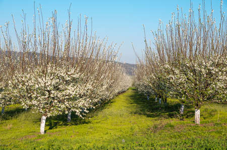 flowering - Fruit trees in the spring