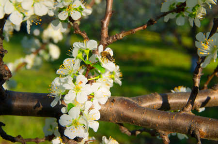 Pollination of flowering trees.