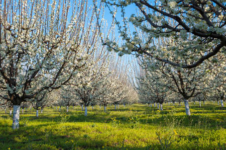 Farm - Blue plum orchard in full bloom in spring
