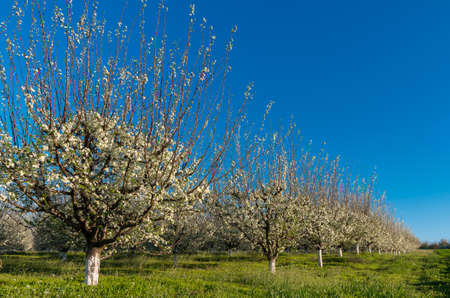 Orchard - Blue plum orchard in full bloom