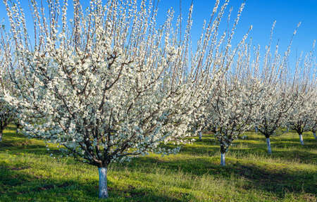 Agriculture - Blue plum orchard in full bloom