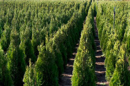 Arborvitae. 골드 스트라이크 시더. 자연에서 많은 녹색 Thuja 보육.