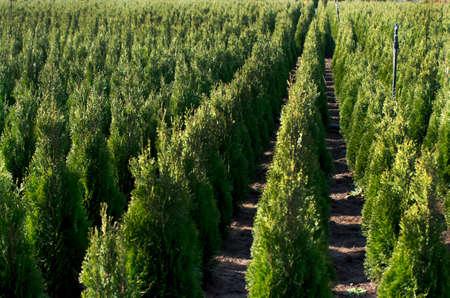 Arborvitae. Goldstrike Cedar. Nursery for many green Thuja in nature. Stock Photo
