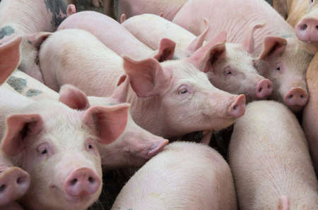 Livestock breeding. The farm pigs. Stock fotó