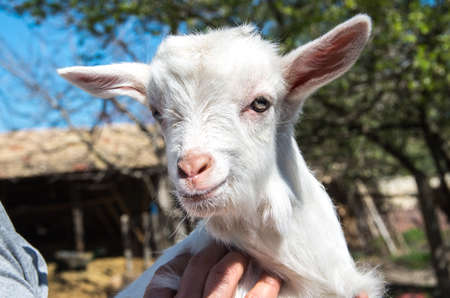 White goat in the farm. Stock Photo