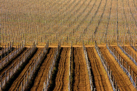 Vineyards with young vines