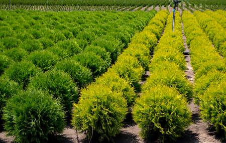 Thuja occidentalis in garden center. Plant nursery. Nursery for Cedar.