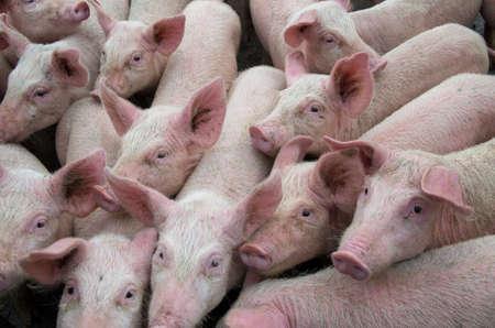 Maladies des porcs. Virus de la peste porcine africaine PPA. Banque d'images
