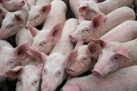 Pigs diseases. African swine fever virus ASFV.