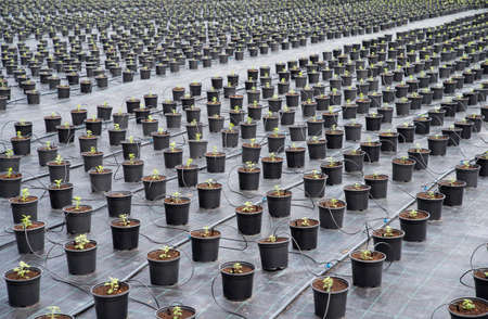 Young Chrysanthemum flower seedling planting plots in row.