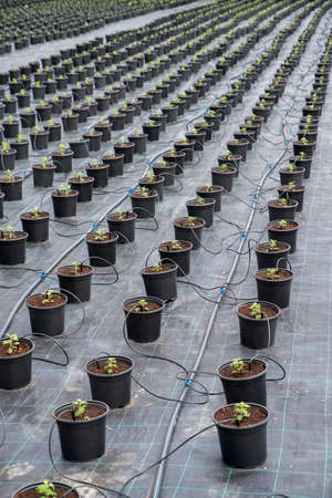 Greenhouse Ground Cover. Watering system garden, flower potted plants Irrigation. Chrysanthemum flower seedling planting plots.