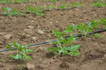 Young sprout of watermelon field with drip irrigation