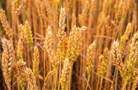 Golden ears of wheat are ready for harvest. 스톡 콘텐츠