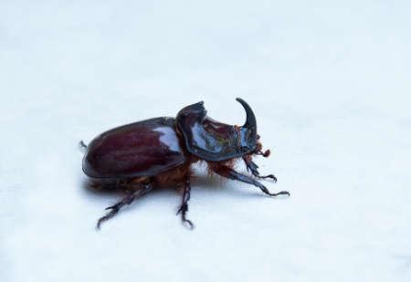 Oryctes nasicornis is a large flying beetle belonging to the subfamily Dynastinae. European rhinoceros beetle. 스톡 콘텐츠