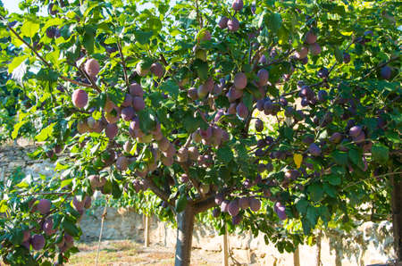 plum tree with leaves and fruits