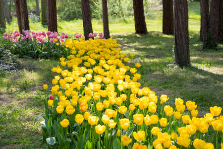 Colorful tulips in park in spring. Beautiful garden of colorful flowers. 스톡 콘텐츠