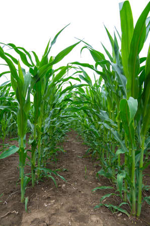 Corn plants growing in cultivated agricultural field.