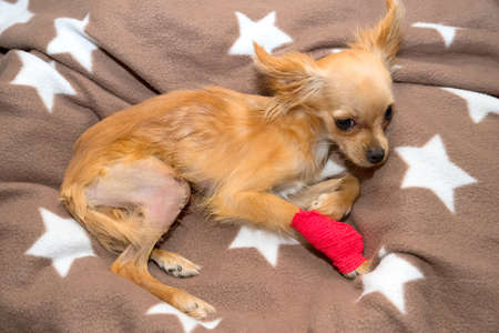 Surgical correction luxation of the patella in the dog. Stock Photo