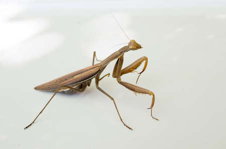 Brown mantis isolated on white background.