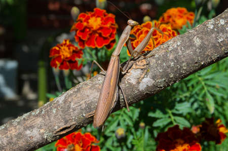 Praying Mantis insect in nature. 스톡 콘텐츠