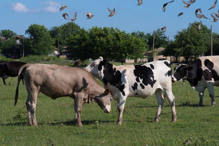 Cows and calfs