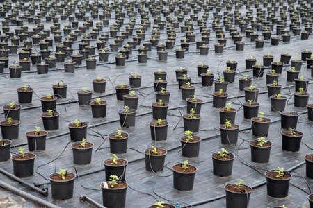Greenhouse for Chrysanthemum flower seedling planting plots. Soil disinfection film. Flower Potted Plants Irrigation.
