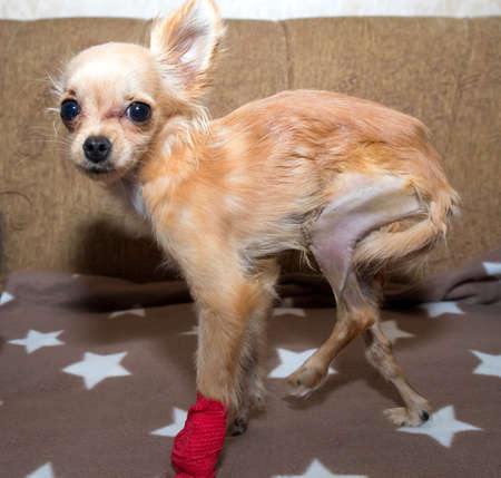 Patellar luxation in dog. Surgical correction