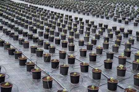 Plant nursery. Young Chrysanthemum in flower pot in garden center.