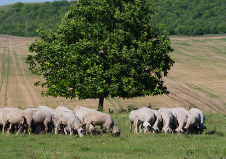 flock of sheep graze on a green lawn against the backdrop of walnut tree and farmland