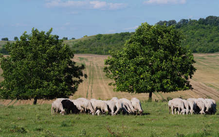 Ewes and ewe lambs graze on a meadow in the Bulgaria
