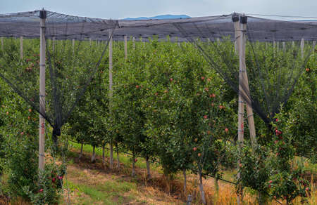 Bulgarian Apple orchard