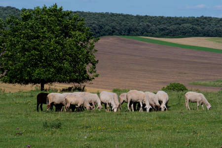 Sheep breeding in Bulgaria