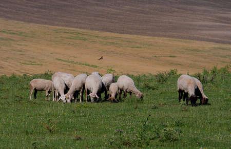 flock of sheep graze on a green lawn 免版税图像