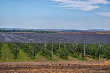 Apple plantation, fruit production.
