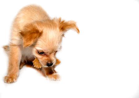 Puppy with a dog dental toys. 免版税图像
