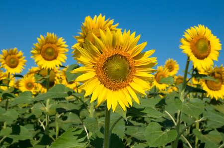 Sunflower oilseed plant 免版税图像
