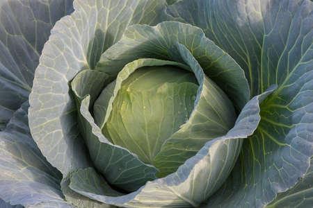 Fresh green cabbage head
