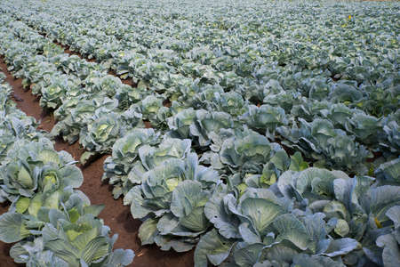 green cabbage in the farm field 免版税图像